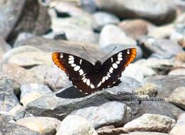 Steider Studios:  Lorquin's Admiral butterfly at Dog Mountain Creek