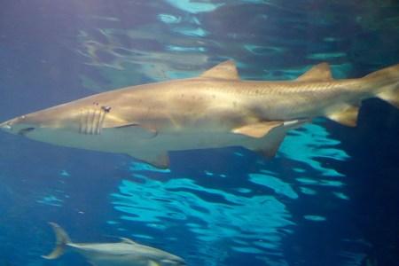 A shark at the Aquarium in Barcelona