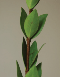 Three-fold myrtle branch