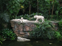Singapore Zoo: white tigers Omar, Winnie, Jippie
