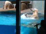 Singapore Zoo: polar bears Sheba and Inuka