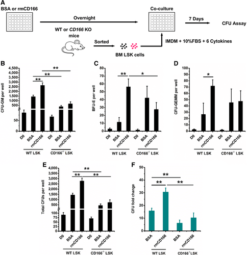 CD166 Engagement Augments Mouse and Human Hematopoietic