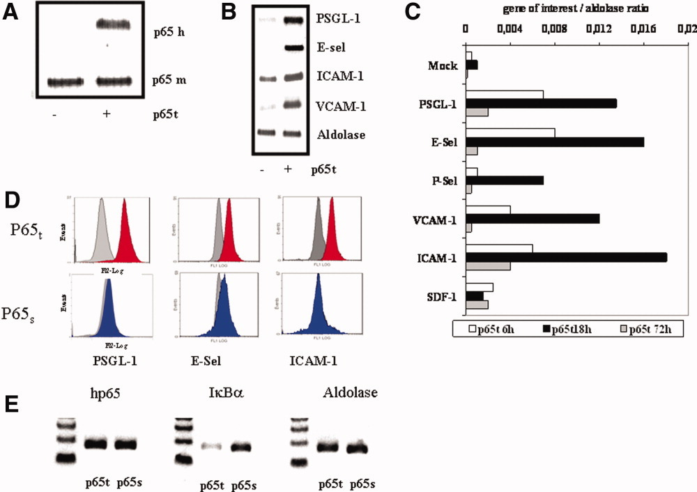NF κB Activation in Embryonic Endothelial Progenitor Cells