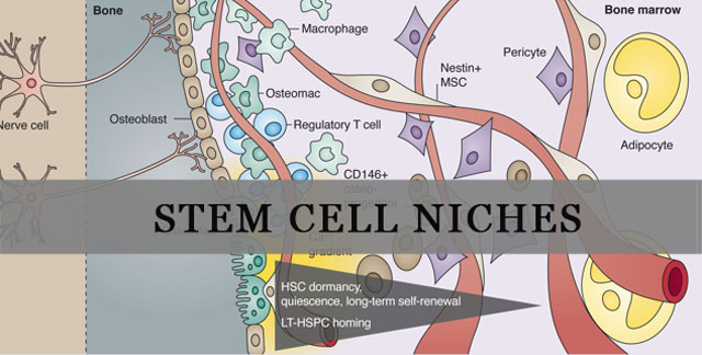 Stem Cell Niche Function, Definition & Structure
