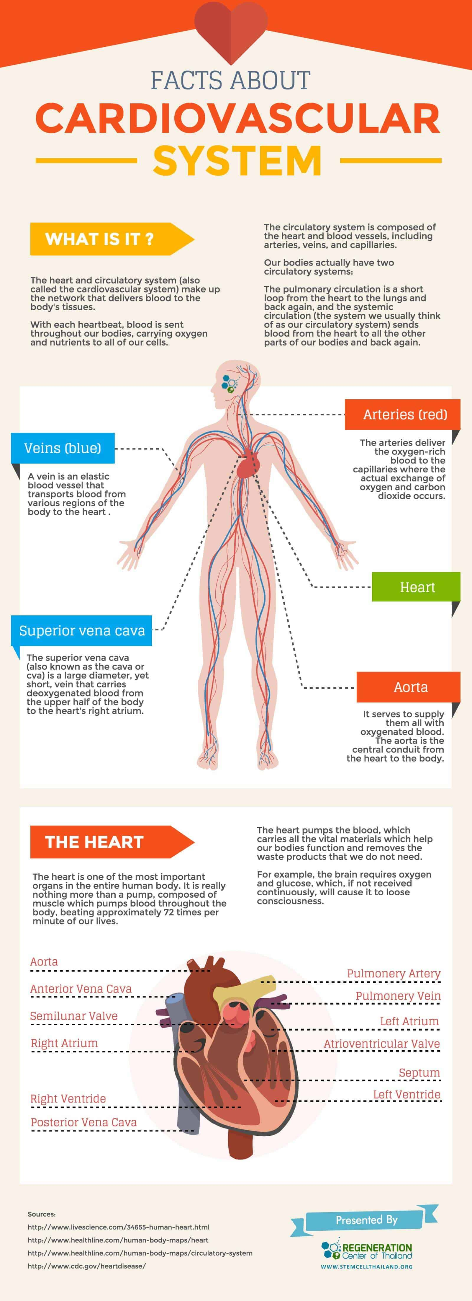 The Cardiovascular And Blood Circulatory System