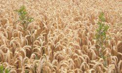 wheatweeds