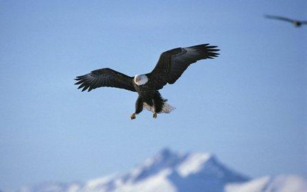 flying-hawk-in-the-sky_85945-1440x900