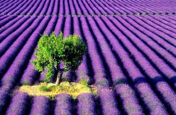 Culturi de lavandă din lumea întreagă