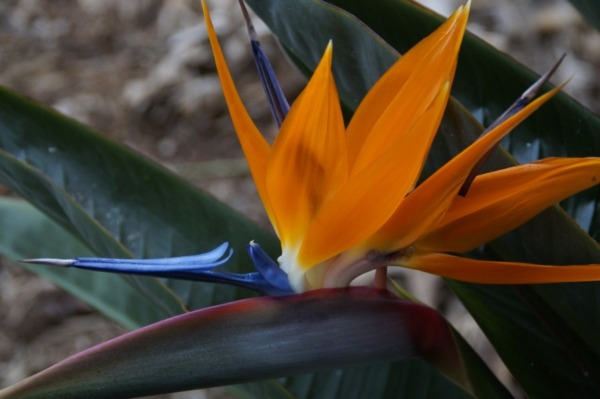 Real image of a bird of paradise