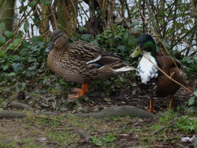 Mallards hopeful for bread!