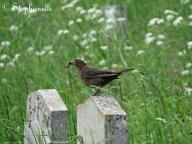 Turdus merula - Blackbird, off to feed her young