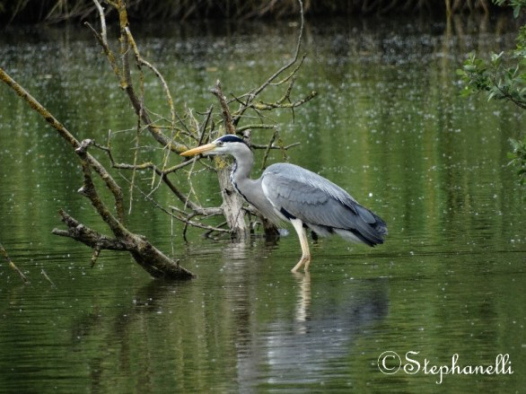 Grey Heron stalking for fish.