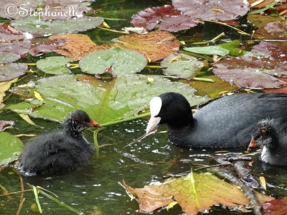 Coots learning what's good to eat