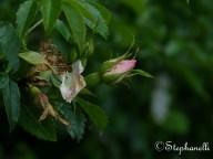 Dogrose Bud