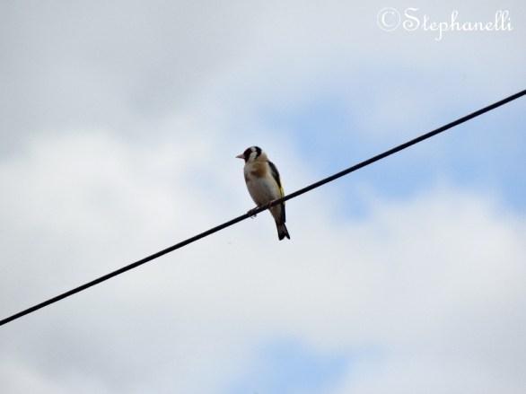 Carduelis carduelis - Goldfinch