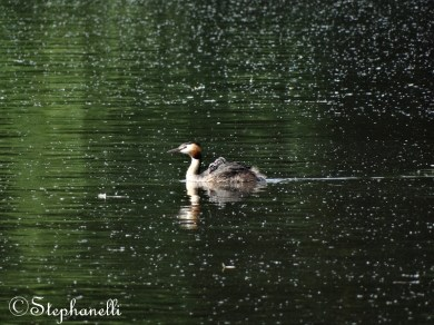 Great Crested Grebe with new chicks on board!