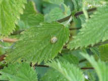 Minature Snail (on a nettle leaf)