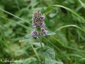 Wild Mint (not sure what exact species)