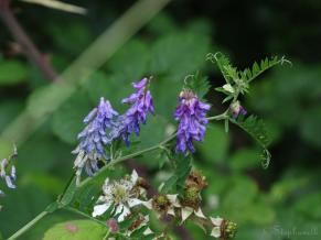 Possibly Tufted Vetch - anyone fancy confirming this?