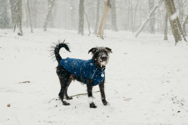 oscar-bigboots-stephanie-louise-green-pet-photography-photographer-in-north-london-n7-n8-highgate-crouchend-hampstead-muswell-hill-cute-dog-in-snow-winter-patterdale-collie-terrier-27