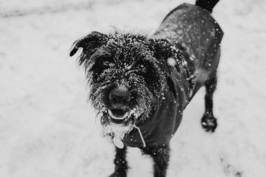oscar-bigboots-stephanie-louise-green-pet-photography-photographer-in-north-london-n7-n8-highgate-crouchend-hampstead-muswell-hill-cute-dog-in-snow-winter-patterdale-collie-terrier-31