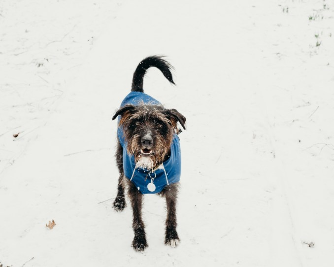 oscar-bigboots-stephanie-louise-green-pet-photography-photographer-in-north-london-n7-n8-highgate-crouchend-hampstead-muswell-hill-cute-dog-in-snow-winter-patterdale-collie-terrier-4