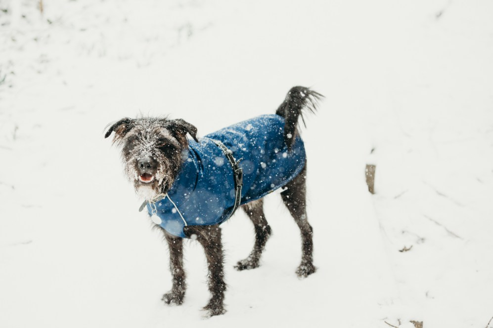 oscar-bigboots-stephanie-louise-green-pet-photography-photographer-in-north-london-n7-n8-highgate-crouchend-hampstead-muswell-hill-cute-dog-in-snow-winter-patterdale-collie-terrier-49