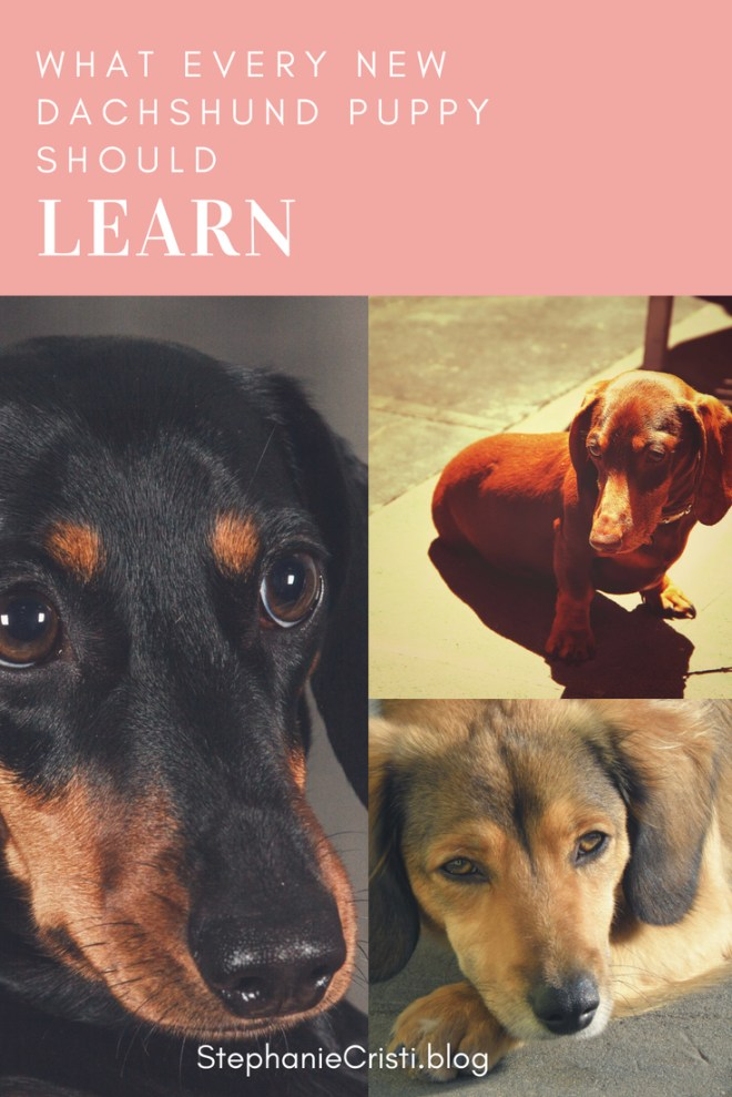 This StephanieCristi blog article tells about the writer\'s experience adopting and training a four month old dachshund mix puppy. #dachshund #puppy