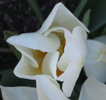 Waving and folding/Gold-tipped ivory petals/Origami burst