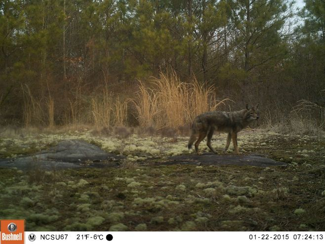 Coyote on camera trap