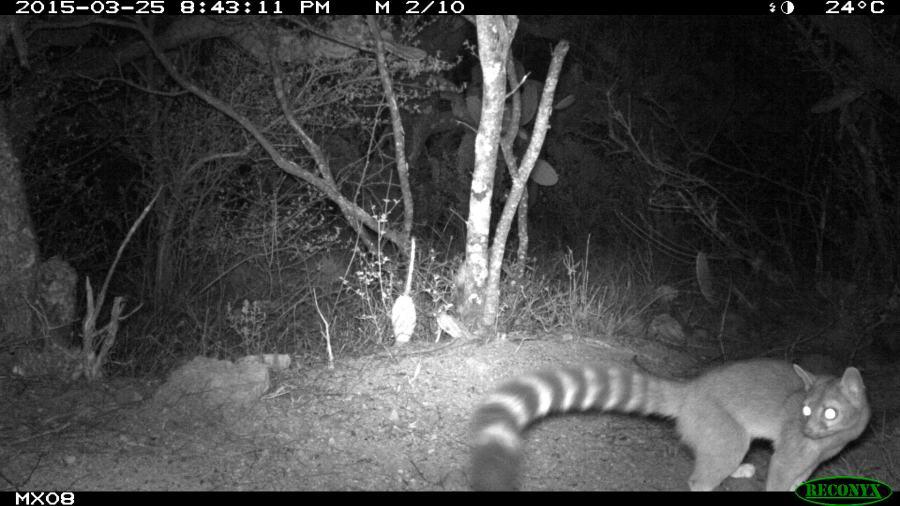 ringtail Camera Trap Photos from Mexico
