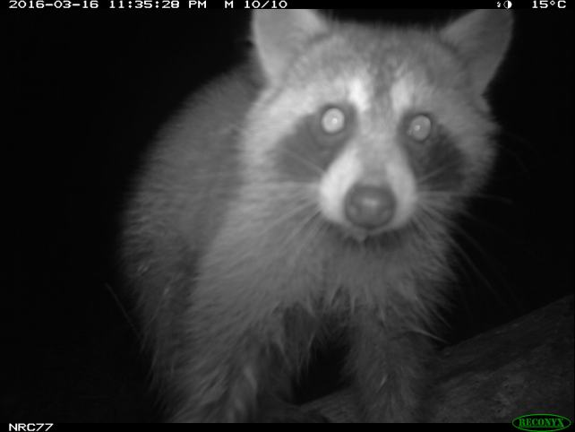 raccoon on camera trap