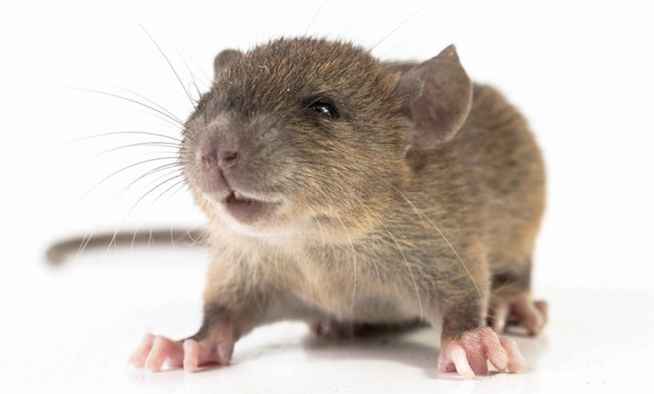 $50 Million Support Package to Combat Mouse Plague