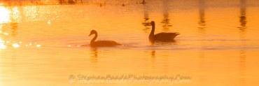 Geese in Warm Sunlight