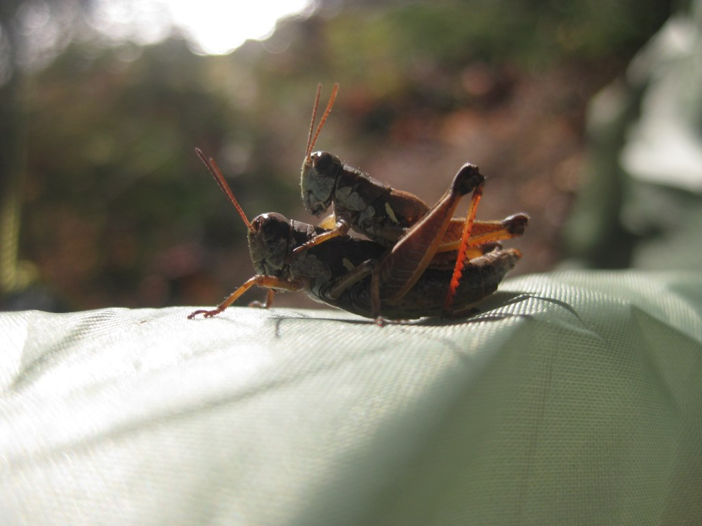 Amorous grasshoppers on a tent fly