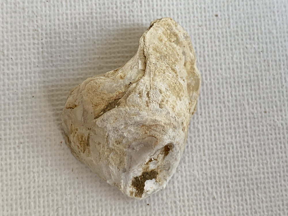 Seashell Found with other Mesolithic items