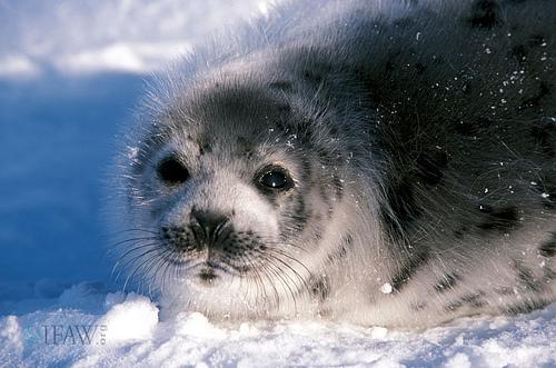 molting-harp-seal-ifaw.jpg
