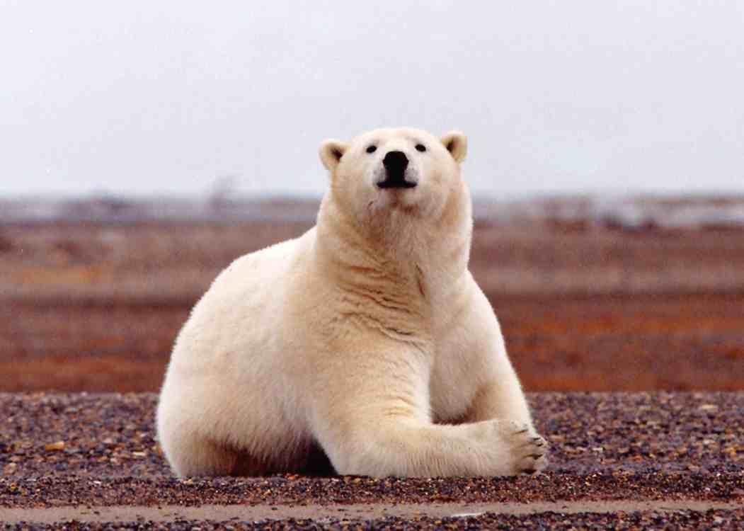 polar-bear-summer-usfws-sml.jpg