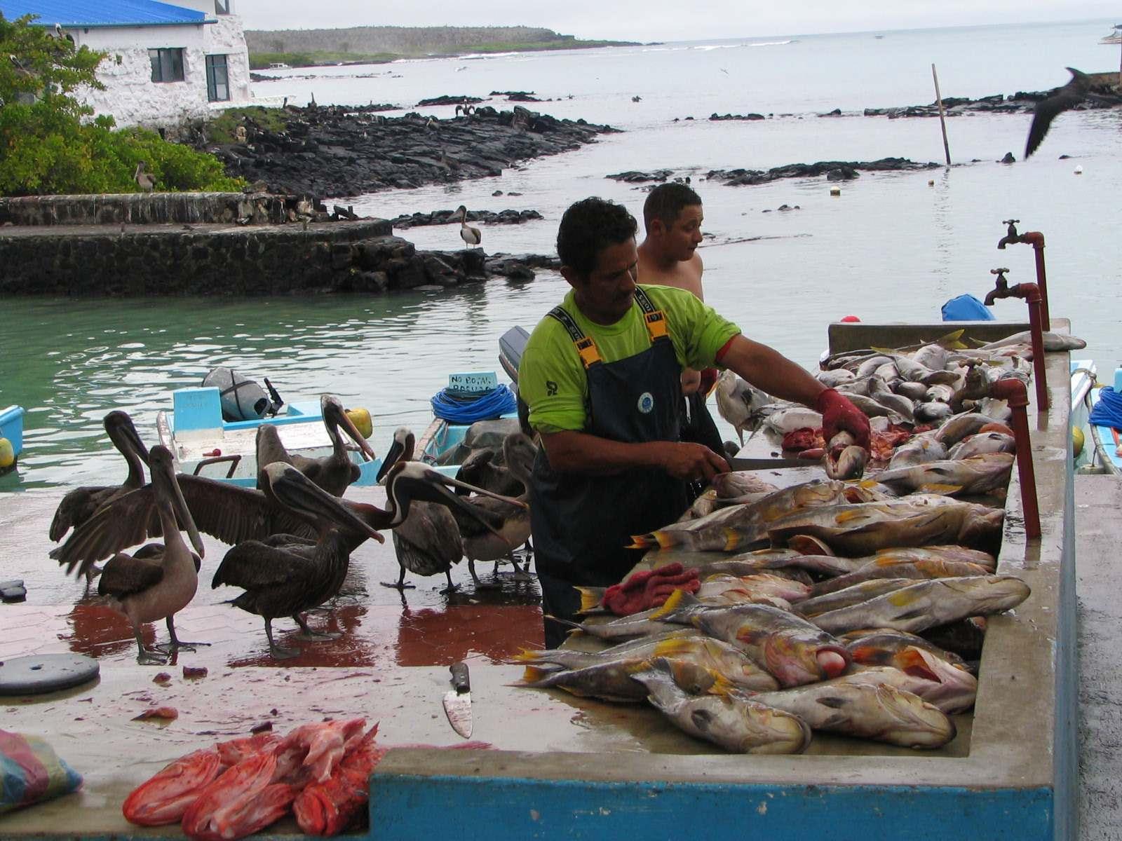 yellow-fin-tuna-catch-galapagos