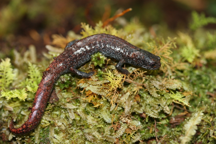 Bradytriton silus, a salamander of the Guatemalan cloud forest long thought to be extinct but rediscovered this January 2009.
