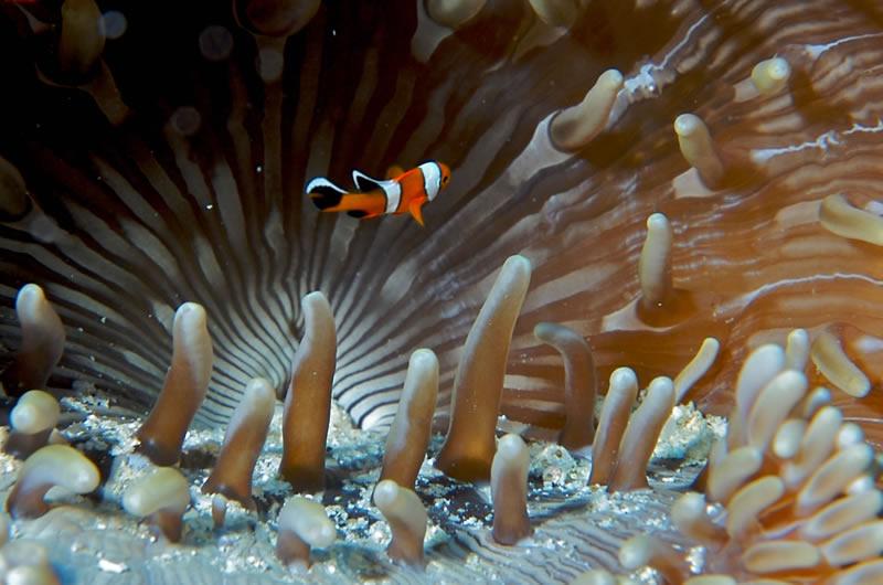 clown fish anomenes iucn