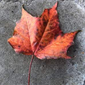 Autumnal sycamore leaf