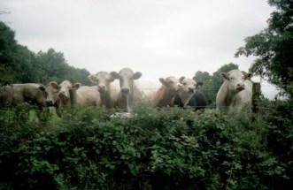 Cows (1999)