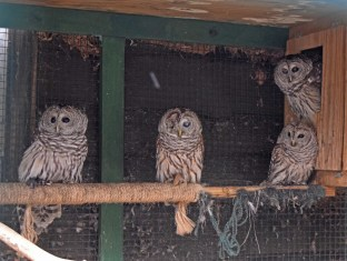 """It was such a treat to see these owls up close. There are a lot of these around our cabin. I know exactly what they sound like but I've never seen one. The one in the middle was hit by a car and is now a """"lifer""""."""