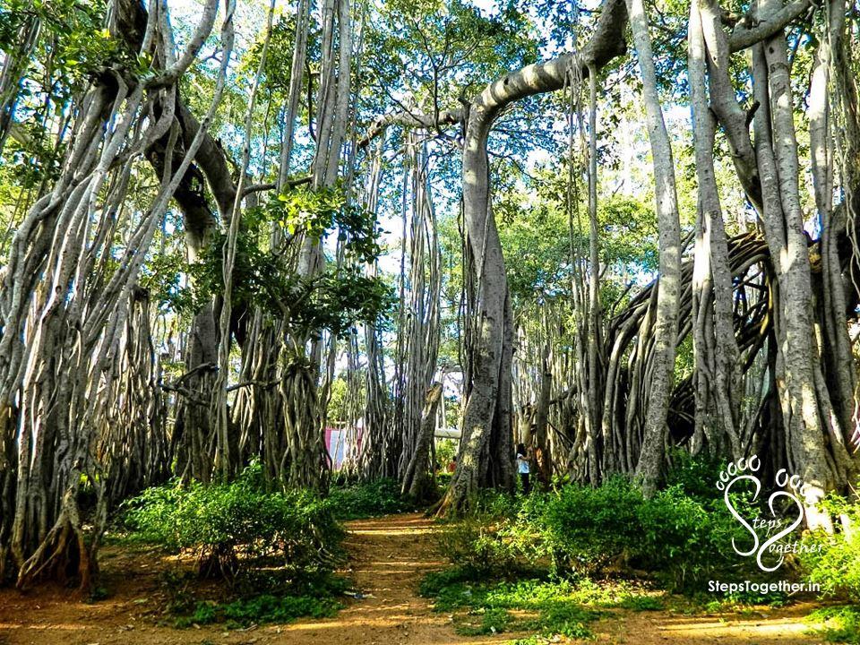 Dodda Alada Mara (Big Banyan Tree)