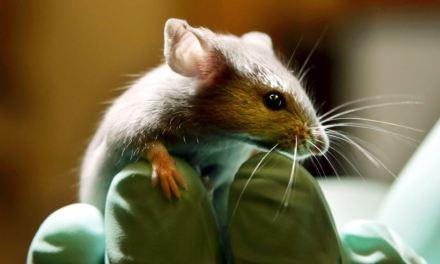 Científicos logran eliminar el VIH en ratones infectados