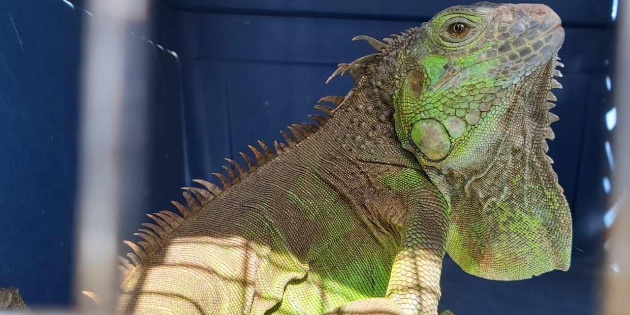 ¿Cuántas especies ha rescatado este año el Conap en la región?