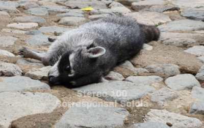En Panajachel, vecino le salva la vida a mapache que habría sido atropellado
