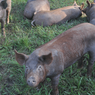 Pigs at the Spencer Farm