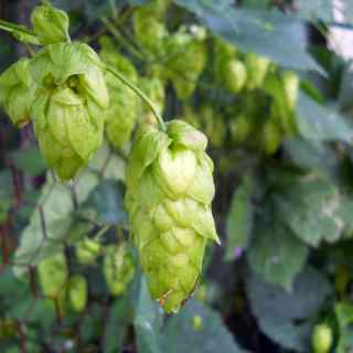 Growing Hops, SNAF